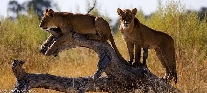 Lion cubs at Seba #OkavangoDelta #safari