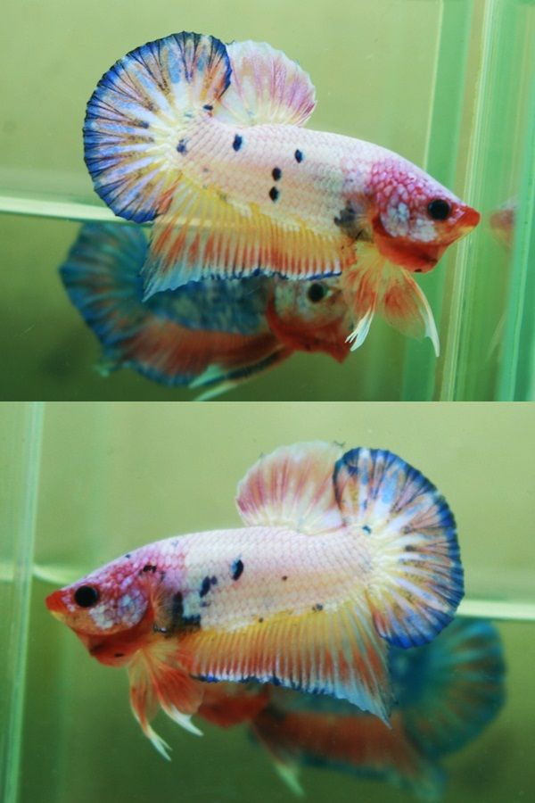 3101 best images about fish keeping on pinterest live for Fish that can live with betta fish