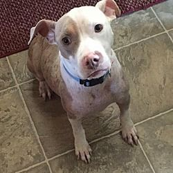 Pictures of Tinsley a Pit Bull Terrier for adoption in New York, NY who needs a loving home.
