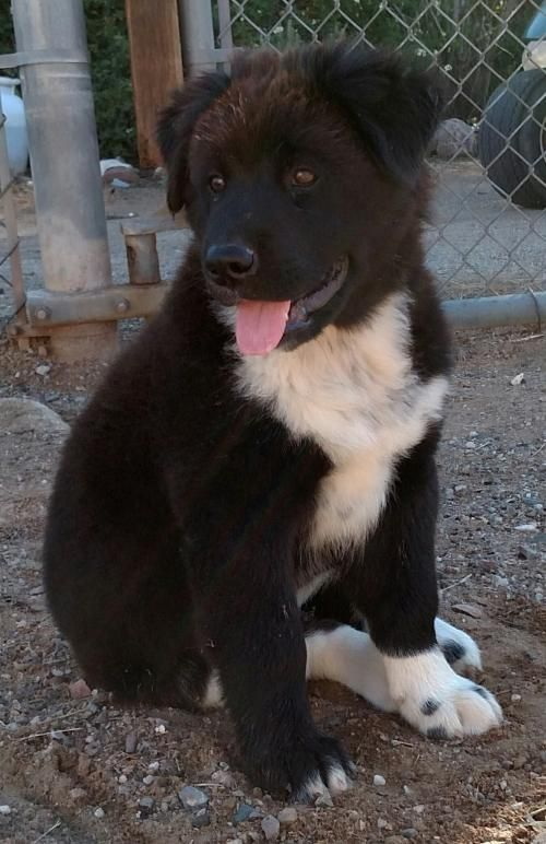 Sapphire is a 3 month old chow chow, Black Lab, border ...