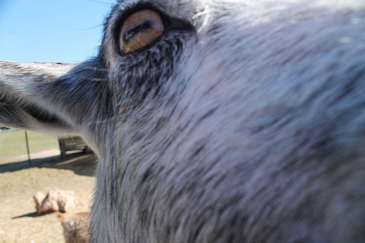 Goat, eye