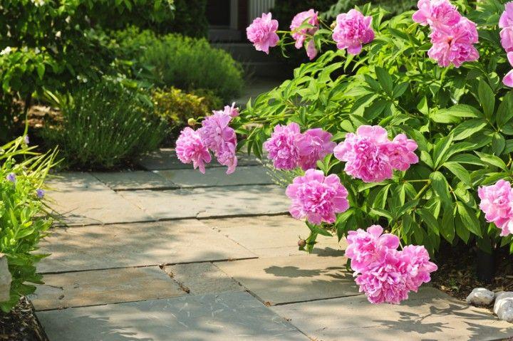 Peony Care | Tips to Grow Healthy Plants - Yankee Magazine