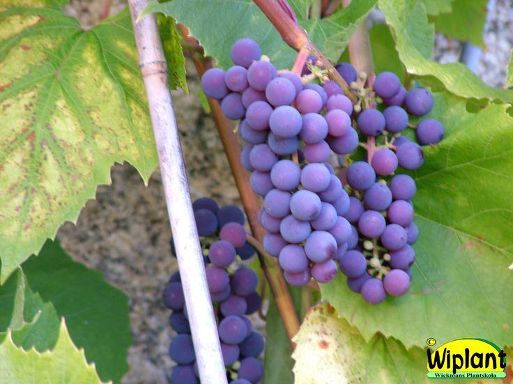 Vitis 'Nordica', vinranka. Blåröda, mycket härdig. Planteras i okalkad jord. Kan odlas utomhus på varm plats så druvorna hinner mogna.