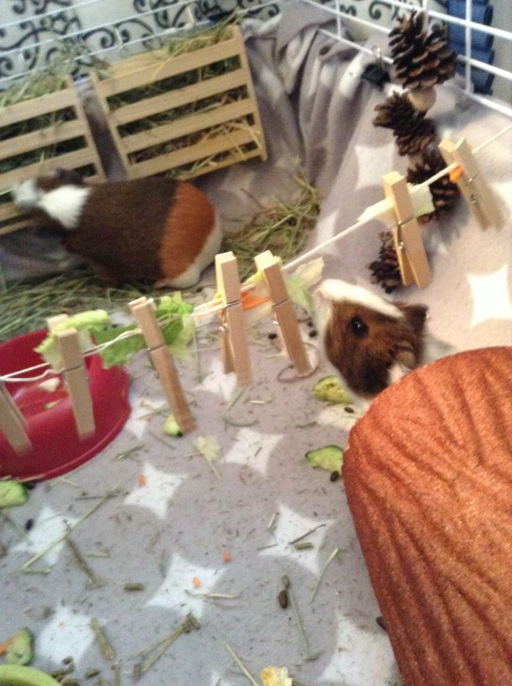 DIY take rope clothes pins and your guinea pigs favorite