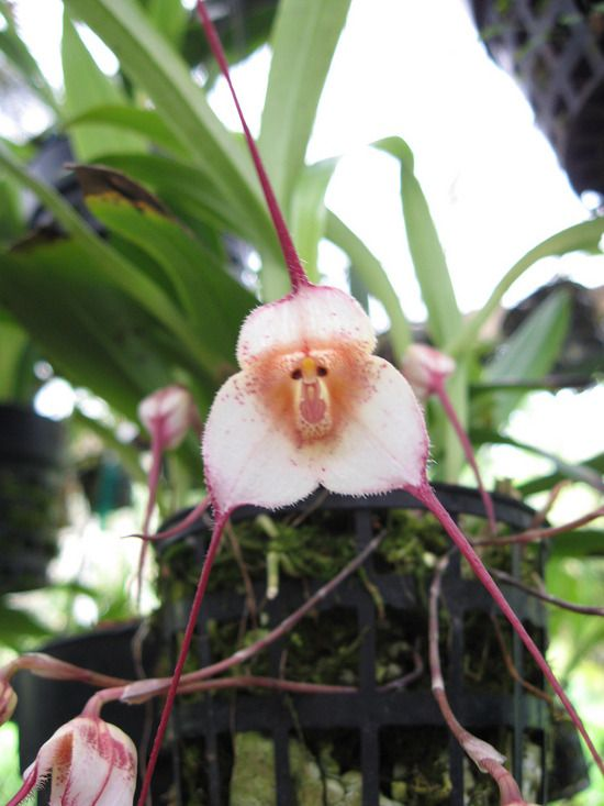 Monkey Face Orchid- The beautiful Monkey Orchid is extremely rare, beautiful and
