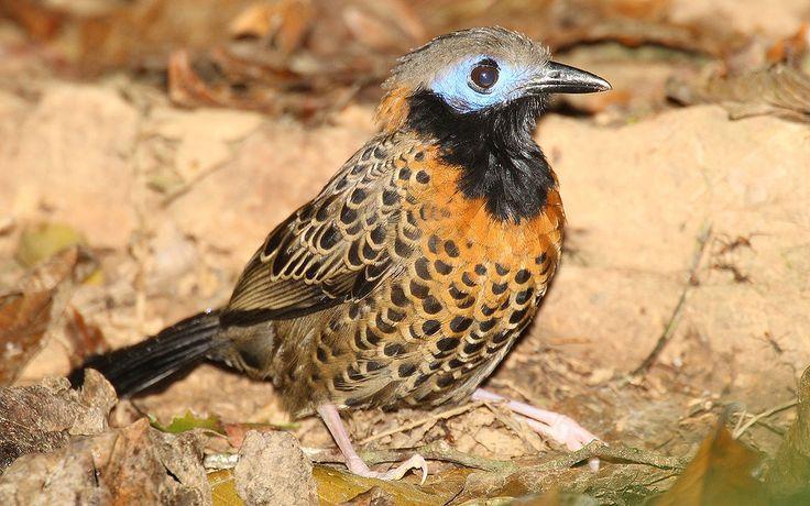 ダリエン国立公園(1981年,自然遺産) Phaenostictus-mcleannani ◆パナマ - Wikipedia https://ja.wikipedia.org/wiki/%E3%83%91%E3%83%8A%E3%83%9E #Panama