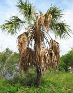 How To Save A Dying Palm Tree...or Most Trees Also Apply   Outdoors    Pinterest   Tree Care, Gardens And Plants