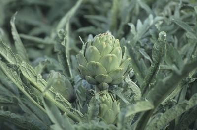 What Are the Benefits of Artichoke Leaf Extract?