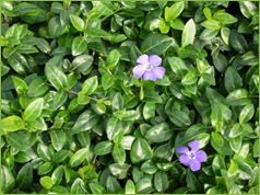 myrtle ground cover images - Google Search