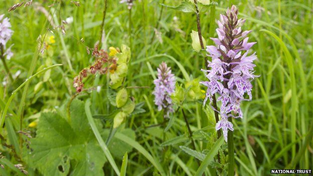 Rugby pitch orchids