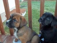 Boxer Mix Puppies - looks like Dozer and Walter