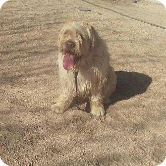 1/15/17 Cherry Valley, CA - Otterhound. Meet Rylee, a dog for adoption. http://www.adoptapet.com/pet/17401692-cherry-valley-california-otterhound