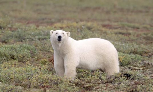 If we're lucky, we'll spot Polar Bears on the shores of James Bay