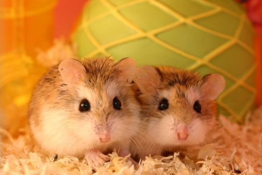 Hamster - Robo-dwarf hamsters named Wormtail and Pettigrew