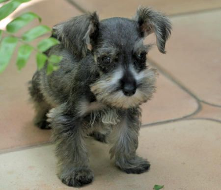 mini shnauzers | Clea the Miniature Schnauzer | Puppies | Daily Puppy