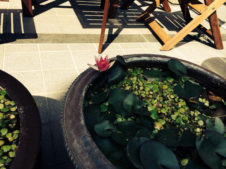 近所のカフェの睡蓮