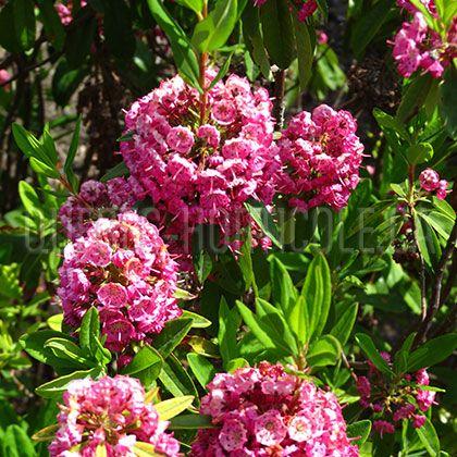 image de Kalmia angustifolia