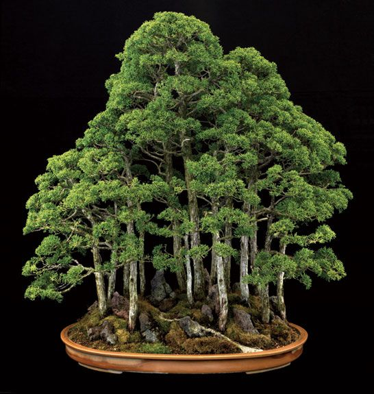 This 40-year-old Sargent juniper from the Pacific Rim Bonsai Collection in Washington, D.C., resembles a mature forest. However, the plant measures only 35 inches tall. Courtesy of Jonathan Singer.