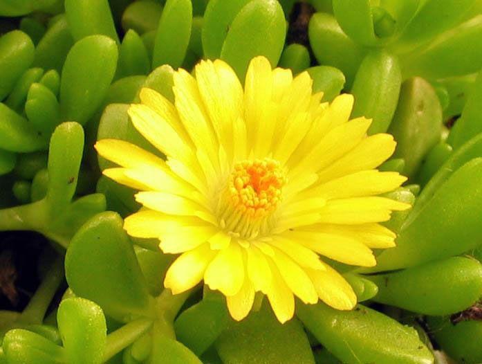Delosperma D. lineare Je to trvalka, ktoré sa rýchlo rozvetvuje a vytvorí nádherný koberec. Má mäsité listy a žlté kvety. Kvitne od júna do septembra a dobre sa cíti na slnečnom mieste. Pretože ide o sukulent, nepotrebuje veľa vody a vydrží bez ujmy aj dlhšie trvajúce sucho. Vysádza sa do suchšej a dobre priepustnej pôdy. Je však citlivá na mráz, preto ju treba prikryť vetvičkami z ihličnatých stromov. Rozmnožuje sa samovýsevom alebo vrcholovými odrezkami. Vysádzať sa môže aj na strešné…