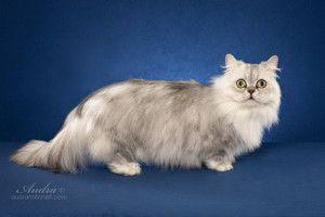 minuet-cat-longhair-300x200.jpg (300×200)