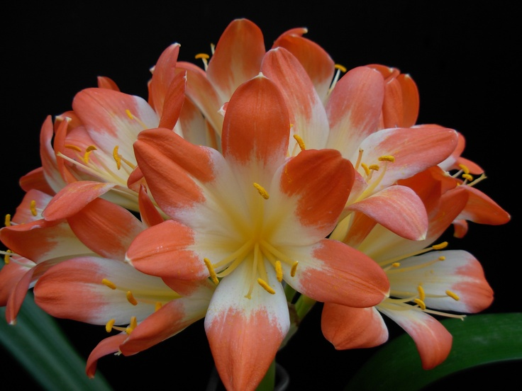 Large White throated clivia 2010