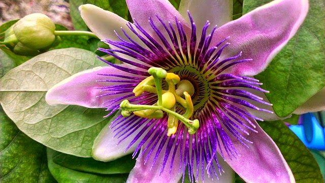 Caribbean Flowers: 530 Best Images About Caribbean Tropical Flowers, Plants