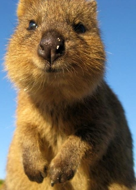 Why are Quokka's so happy? They live in WA of course!
