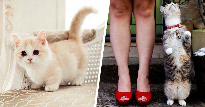 """¿Sabes lo que es un gato Munchkin? Es un pequeño gatito de patas cortas. Comúnmente la gente les llama """"enanos"""" y, aunque no lo creas, existen. Es una raza relativamente nueva, creada por una mutación genética natural que da como resultado pequeños mininos con patas más cortas de lo normal. A pes"""