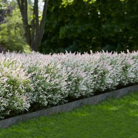 Tri Color Dappled Willow In 2020 Dappled Willow Fast Growing Trees Houston Garden