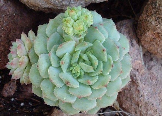 Echeveria Dondo Succulent Plant, Great for Terrariums, Party Favors