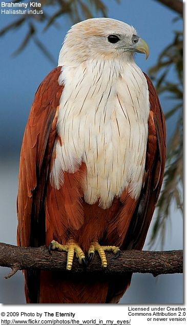 Brahminy Kite, Kites are smaller raptors with long wings and weak legs which spend a great deal of time soaring