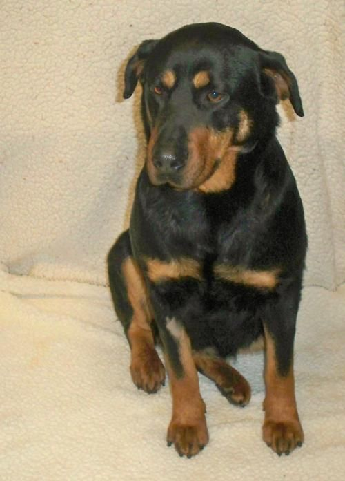 Meet Paula (fka-Little Bit), an adoptable Rottweiler Dog | Sparta, TN | Paula (fka-Little Bit) - Available for Rescue or Adoption 03/21Female, 7 Years Old, 75 Pounds,...