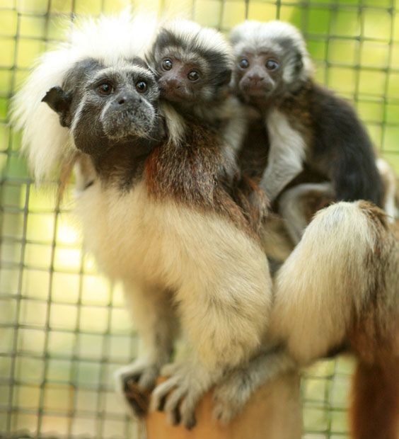 Conchetta the cotton-top tamarin monkey looks after her twins at Alma Park Zoo in Brisbane, Australia