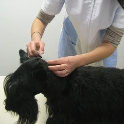 Application locale d'un antiparasitaire à un chien.