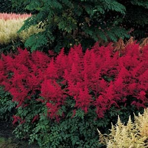 red astilbe for shade: Gardens Ideas, Thin Layered, Shades Plants Gardens, 2 Inch Layered, Gardening Outdoor Ideas, Red Astilbe, Plants Ideas, Astilbe Multiplying, Shades Gardens