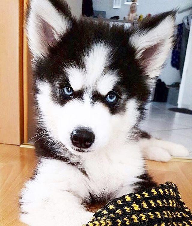 Mejores 1111 imágenes de Siberian Husky Puppies en Pinterest ...