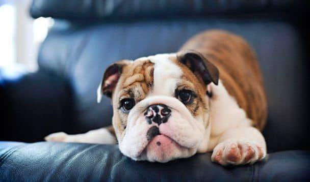 20 Bilder Und Informationen Uber Den Viktorianischen Bulldog