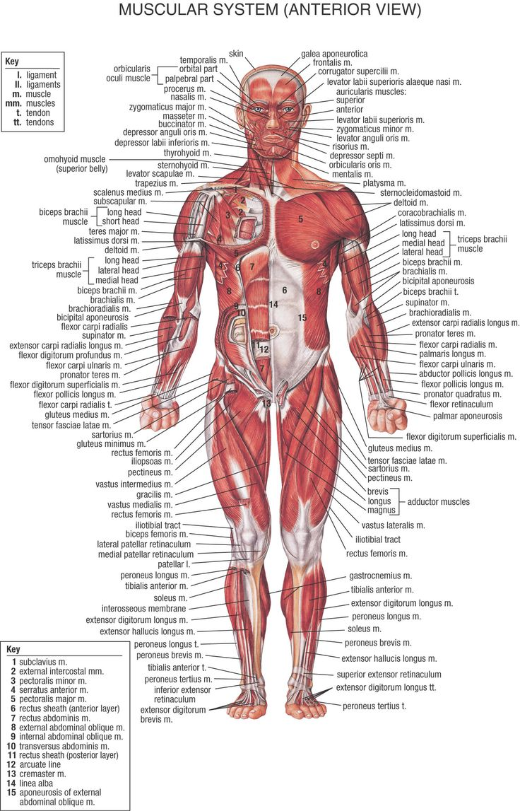muscles chart: helpful to let me see which muscles are hurting when I workout & how to fix it
