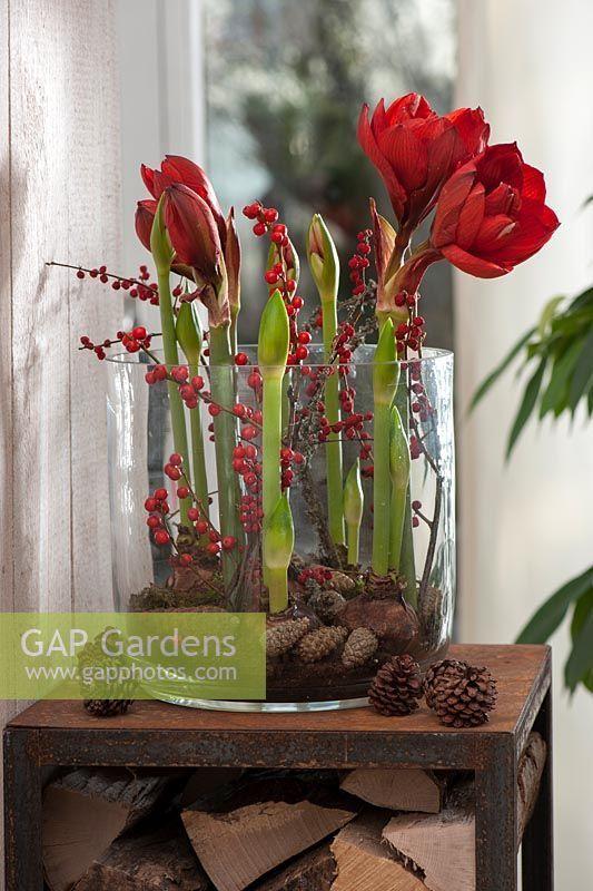 hippeastrum - amaryllis and pinecones