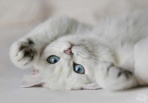 beautiful British cat with blue eyes Белые котята
