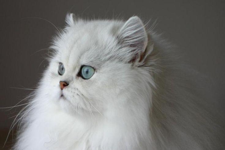 les 25 meilleures id es de la cat gorie persan chinchilla sur pinterest chat persan chinchilla. Black Bedroom Furniture Sets. Home Design Ideas