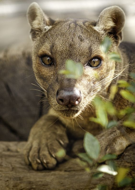 The fossa is the top predator in Madagascar. The modern mongoose and the fossa evolved from the same ancestor, which arrived on the island about 21 million years ago. (photo by Paul Manaig)