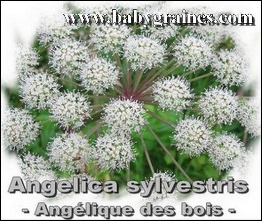 Angelica Sylvestris , Angélique Sauvage