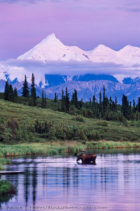 Bull moose feeds on vegetation in Wonder Lake, Mt Brooks of the Alaska range in the distance, Denali National Park, Alaska
