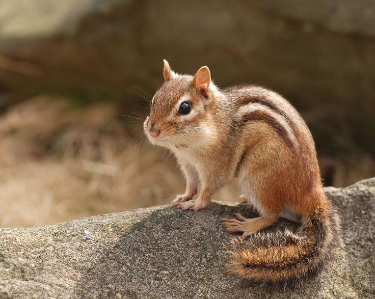 38 best chipmunks images on pinterest chipmunks squirrels and chipmunk on a rock sciox Images