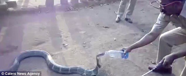 India  Angry king cobra is given water in Indian village | Daily Mail Online