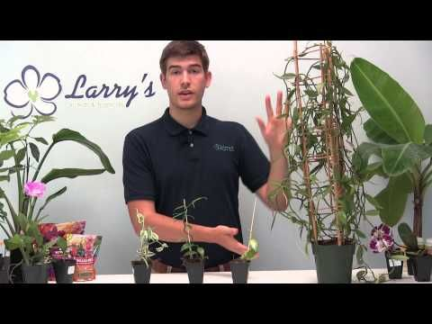 How To Grow Your Own Vanilla - Orchid Growing Guide - YouTube