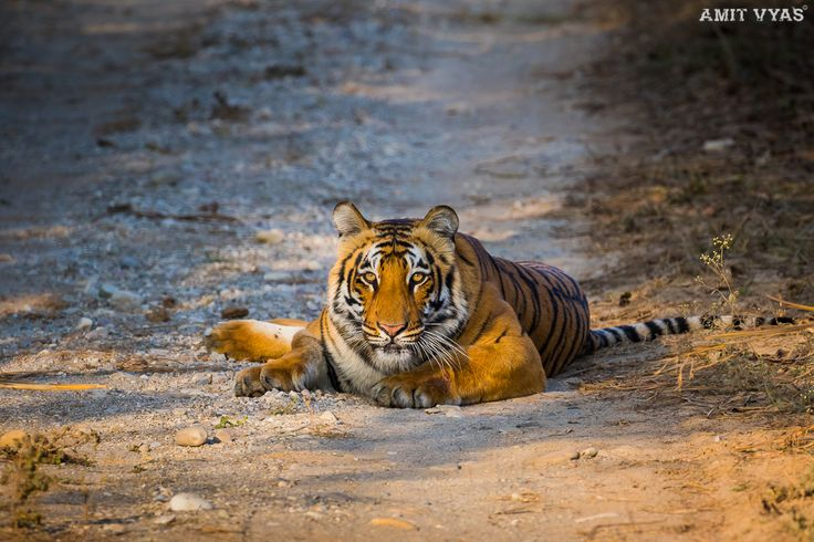 Queen of Grassland @ Dhikala-5  #tiger #tigerReserve #corbett #jimcorbett #dhikala #wildlife #wildlifeanimal #animal #jungelsafari #safari #bigcat #wildcat #cat