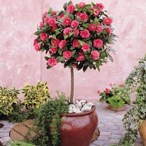 17 best images about topiary on pinterest trees a tree and christmas tables - Camelia planta ...