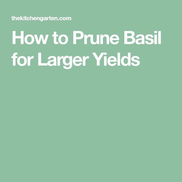 How to Prune Basil for Larger Yields